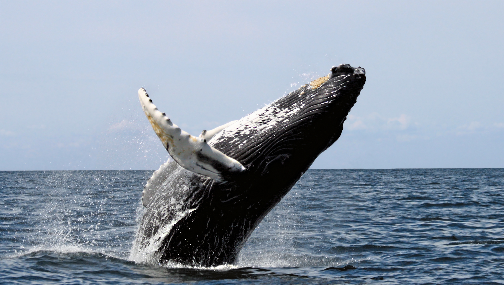 whale 1